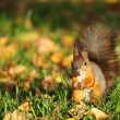 Royalty-Free Stock Photo: Squirrel in the autumn forest