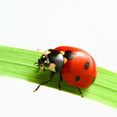 Red ladybug — Stock Photo