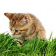 Royalty-Free Stock Photo: Cat behind grass