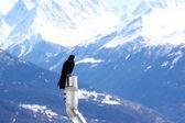 Pájaro de montañas starling — Foto de Stock