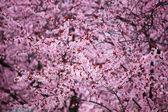 Pink sacura — Stock Photo