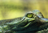 Gavial crocodile — Stock Photo