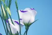 Lisianthus eustoma blue shadow — Stock Photo