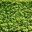 Thickets of bright green shrubby foliage — Stock Photo