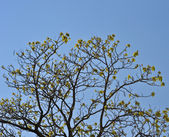 Crown young spring tree against the blue sky — Stock Photo