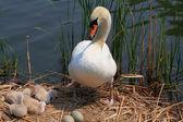 Famiglia e le uova nel nido di cigno. — Foto Stock