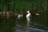 Swan family in the lake. — Stock Photo