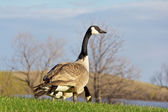 Canada goose looking up for signs of danger — Stock Photo