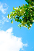 Green leaves with blue sky — Stock Photo