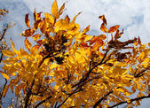 Autumn leaves from the branches — Stock Photo