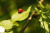 Ladybird on leaf — Stock Photo