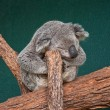 Royalty-Free Stock Photo: The Koala