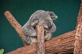 The Koala — Stock Photo