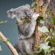 Grey Koala — Stock Photo