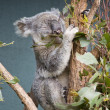 Stock Photo: Grey Koala