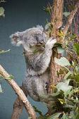 Grey Koala — Stock Photo