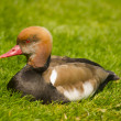 Red Headed Duck Sitting in the Grass — Stockfoto