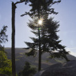 Stock Photo: Sunburst Tree Silouette