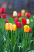 Beautiful tulips growing in the flowerbed — Stock Photo
