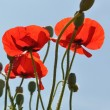 Red poppies — Stock Photo #6163178