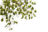 Branches and leaves on a white background. — Stock Photo