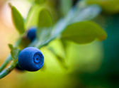 Blue berry of whortleberry on a stem with leaves — Stock Photo