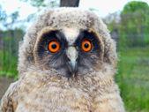 Wild baby owl — Stock Photo