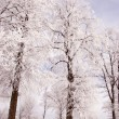 Richly frosted old lindens. - Stock Photo