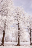 Richly frosted old lindens. — Stock Photo