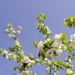 Blooming apple tree. — Stock Photo
