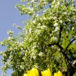 Yellow tulips in background of blooming tree. - Stock Photo