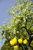 Yellow tulips in background of blooming tree. — Stock Photo