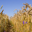 Path between wheats. — Stock Photo