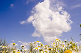 Daisy in the background of sky. — Stock Photo