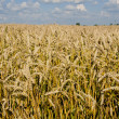 Field full of riped wheat. — Stock Photo #6638676
