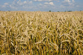 Field full of riped wheat. — Stock Photo
