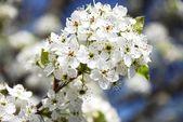 Flowering twig — Stock Photo