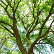 Stock Photo: Green treetop