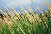 Reeds in summer — Stock Photo