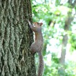 Alert squirrel clinging to tree — Stock Photo
