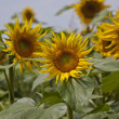 Stock Photo: Sunflowers 3