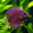 Snakeskin Discus Fish - Stock Photo