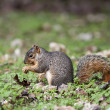 Eastern Fox Squirrel - Stock Photo