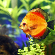 Fire Red Discus Fish - Stock Photo