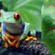 Stock Photo: Red-Eyed Tree Frog