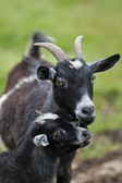Young goat with mother — Stock Photo