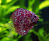 Snakeskin Discus Fish — Stock Photo
