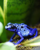 Blue Poison Dart Frog — Stockfoto