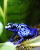 Mavi zehirli ok kurbağası — Stok fotoğraf