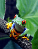 Red-Eyed Tree Frog — Stock Photo